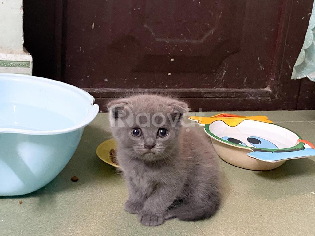 Mèo anh lông xám xanh cái