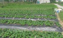Cung cấp màng phủ nông nghiệp, nilon phủ mặt luống, màng phủ đất trồng