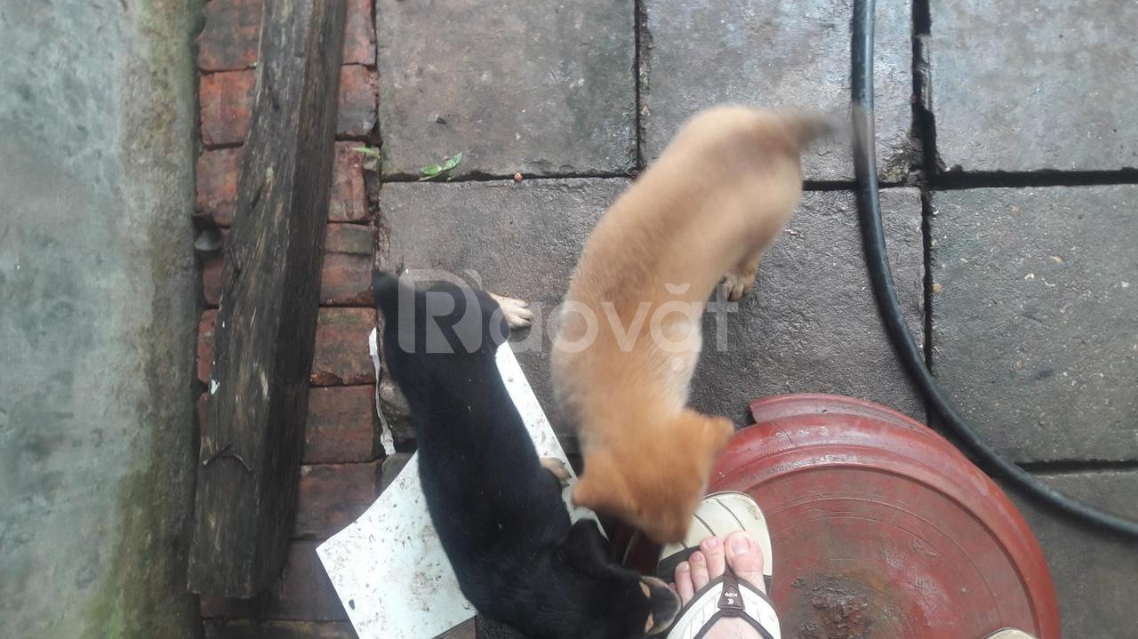 Chó con giống Phú Quốc lai chó mông cộc