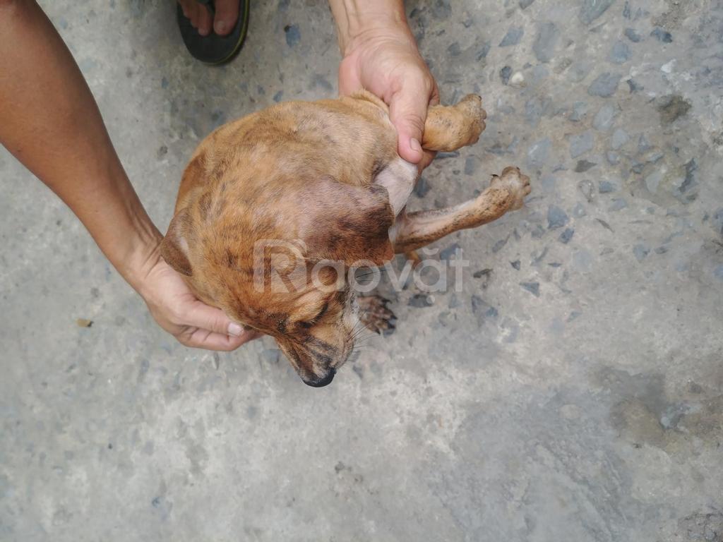 Chó Phú Quốc thuần chủng