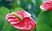 Cây Hồng Môn giá rẻ đẹp Hà Nội