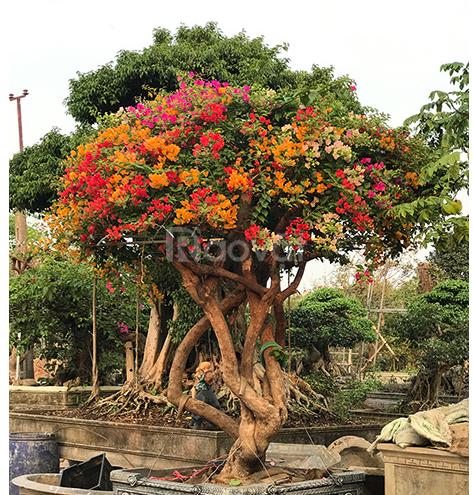 Cây hoa giấy đẹp giá rẻ Hà Nội