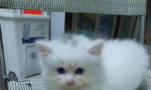 Tìm nhà mới cho 4 bé mèo Anh LD mắt màu xanh 0945039463