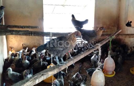 Trang trại Thụy Phương bán gà ác lông đen giống, gà ác thịt