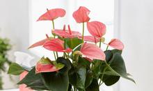 Giảm giá sốc cây hồng môn mùa covid