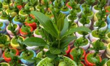 Sale cây tài lộc giá rẻ mùa covid