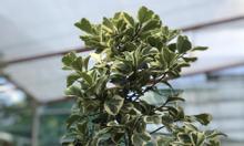 Xả kho cây bàng cẩm thạch giá rẻ mùa covid