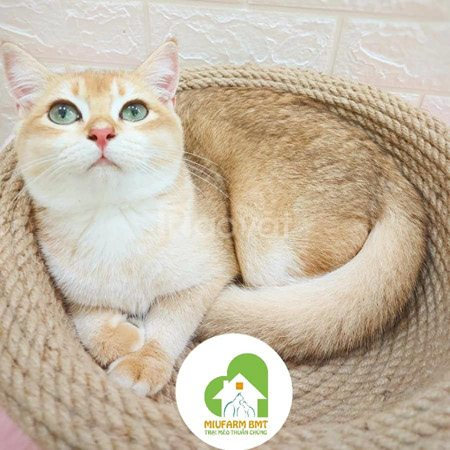 Trại mèo thuần chủng Miu Farm BMT