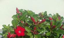 Xả kho cây hoa sứ đỏ giá rẻ