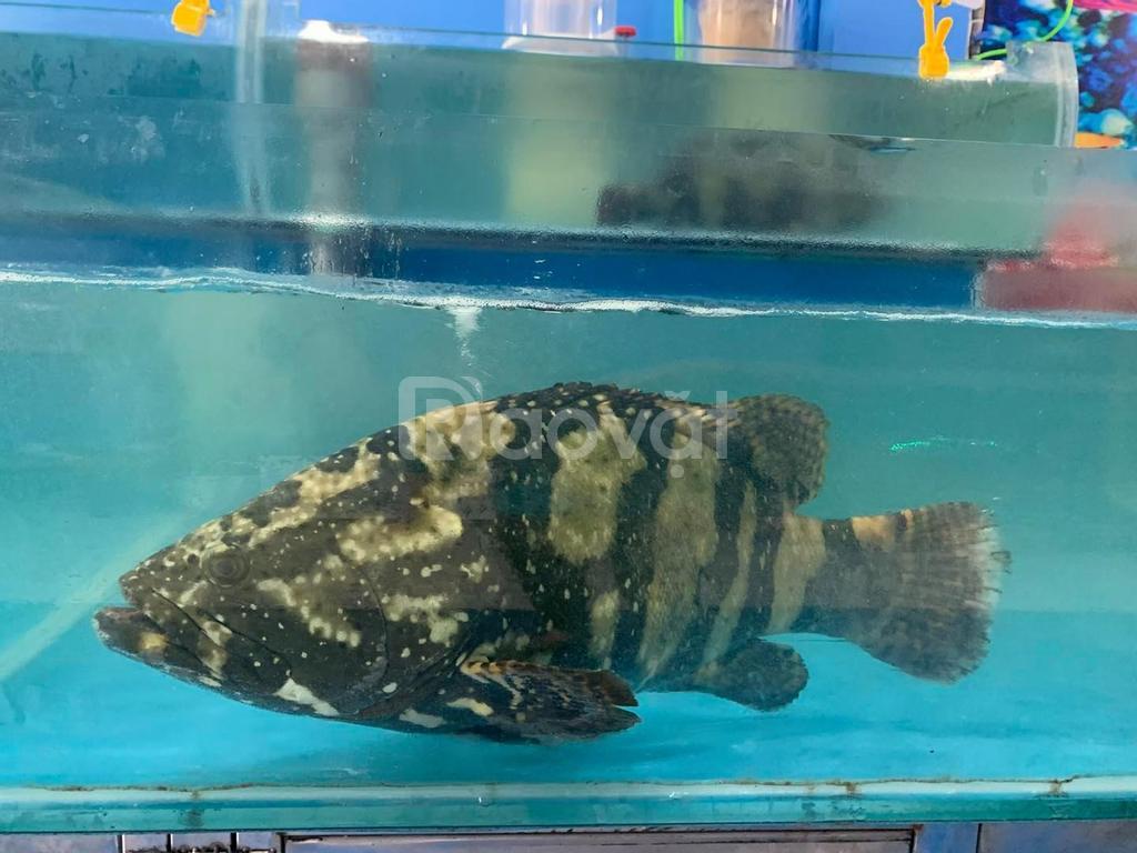 Bán buôn cá song tại Hà Nội
