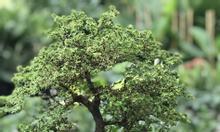 Thanh lý cây Linh Sam hạt gạo giá rẻ