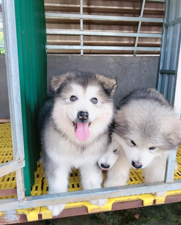 Chó giống Alaska 2,5 tháng tuổi, trại chó cảnh Lê Gia