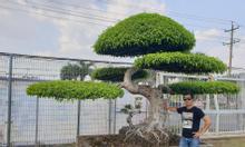 Cây sanh dáng Long chầu mặt Nguyệt đẹp tại Bình Dương