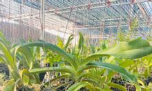 Vườn lan Việt Khánh, chuyên cung cấp sỉ và lẻ tất cả các loại hoa lan