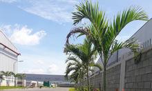 Trồng cỏ lá gừng, cỏ nhung, cỏ bông đậu ở Bình Dương, Bình Phước