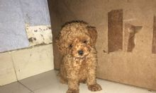 Bán chó Poodle nhỏ