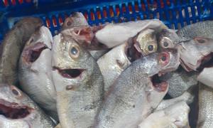 Cần bán cá lò làm sạch đông lạnh