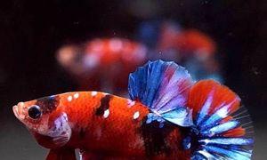 Cá Betta rồng đỏ, vàng, đen, haflmoon, fancy, koi, dumbo