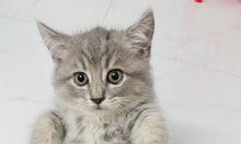 Mèo ALN Scottish 2 tháng tuổi, cái